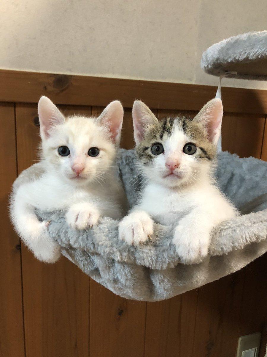 2匹一緒に新しいお家に行く予定だったチビ達。住所とマンション名を聞いて確認したところどうもペット可の物件じゃなさそうで先方に聞いたらやはりそう。先住猫がいるしペット可の賃貸マンションって聞いてたから決めたのに…また一から募集開始です😢 https://t.co/DZJVnE9we7