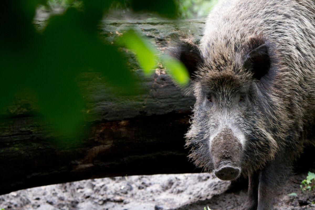 Kampf gegen #Schweinepest: Jäger fordern mehr Unterstützung seitens der Politik.  https://t.co/hhl8CSGhWT https://t.co/j2LXLn5Uhm