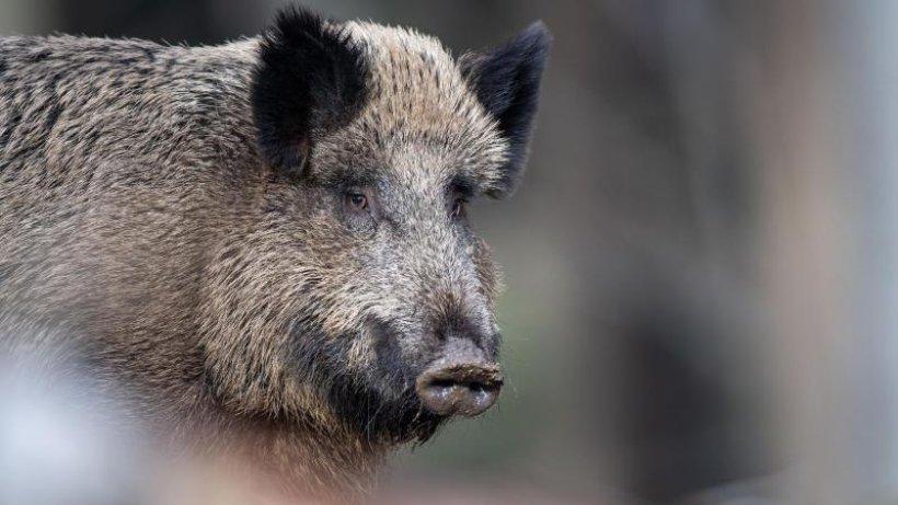 Afrikanische Schweinepest breitet sich in Brandenburg aus https://t.co/LPpXuNUSmR https://t.co/O58JusqT08