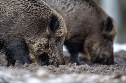 In Brandenburg: Afrikanische Schweinepest breitet sich weiter aus https://t.co/M4tG1wWIXi https://t.co/6EY9JnW6sO