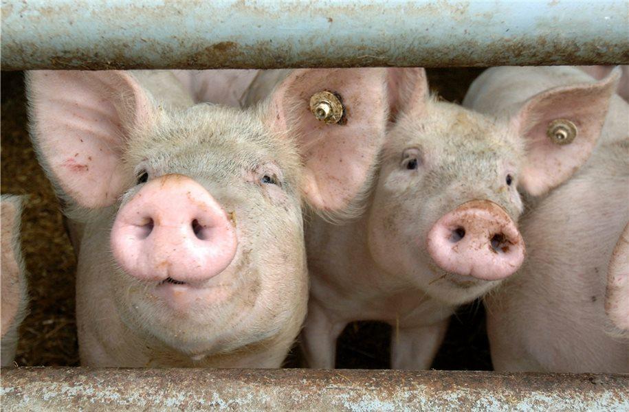 Afrikanische Schweinepest könnte Region Milliarden kosten - mehr auf: https://t.co/h2DVNUx1GT #GrafschaftBentheim #Nordhorn https://t.co/fYDdK9S40W