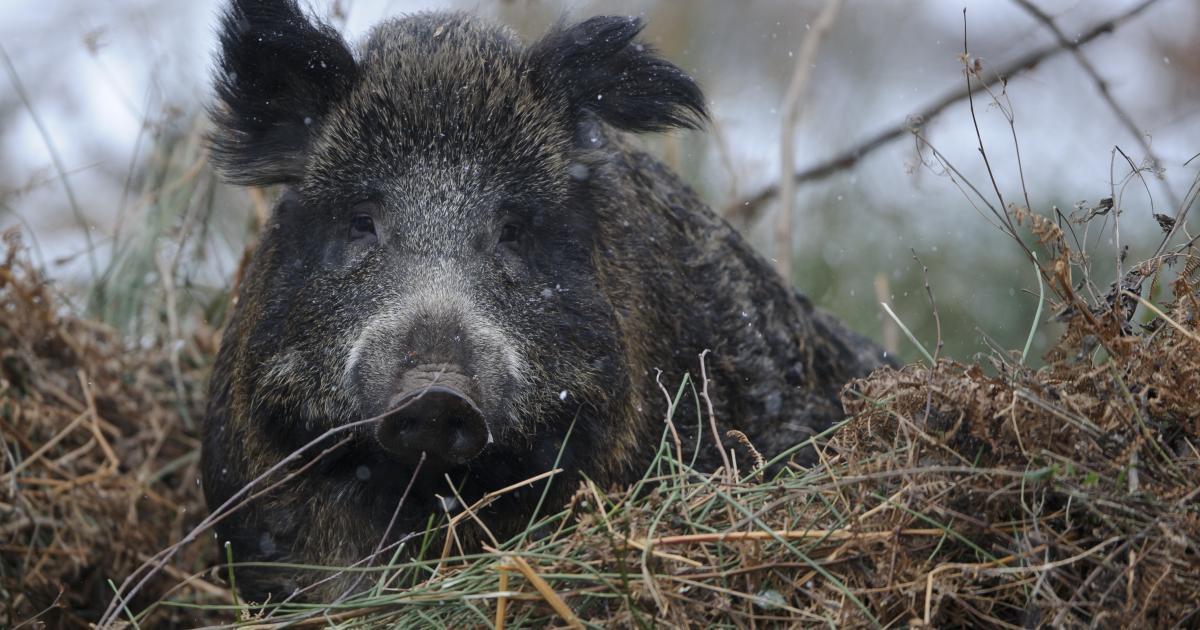 Afrikanische Schweinepest breitet sich in Brandenburg aus https://t.co/5svr3aQaGg https://t.co/GkKT3p2ufp