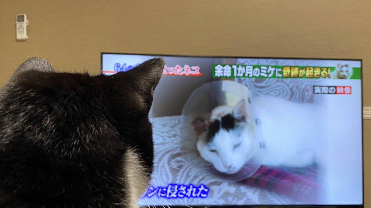 テレビでやってた山登り猫ミケ。 ロクさんと一緒に見た。 ミケさんは幸せだったろうし 猫と一緒の登山は楽しそうだけど、 やっぱり外に出すのはこわい。 うちは過保護全開の 箱入りでいいやぁ。  #白黒猫 #兄弟猫 #ハチワレ #フクロク #シマホレスキュー #シマホネコダスケ #猫 #cats #猫のいる暮らし https://t.co/68sd16Rln6
