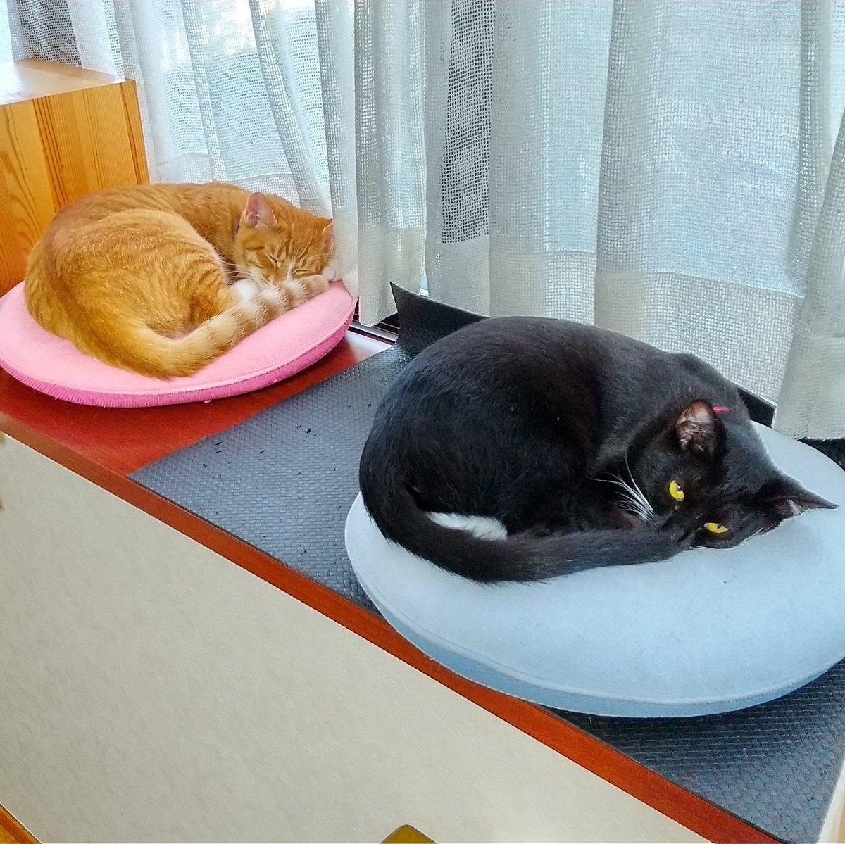 同じ姿勢で寝てるのが可愛くて写真撮りまくってたら睨まれてしまった  #猫のいる暮らし  #猫 #茶トラ #黒白猫 #兄弟猫 https://t.co/LaNQL9ctgn