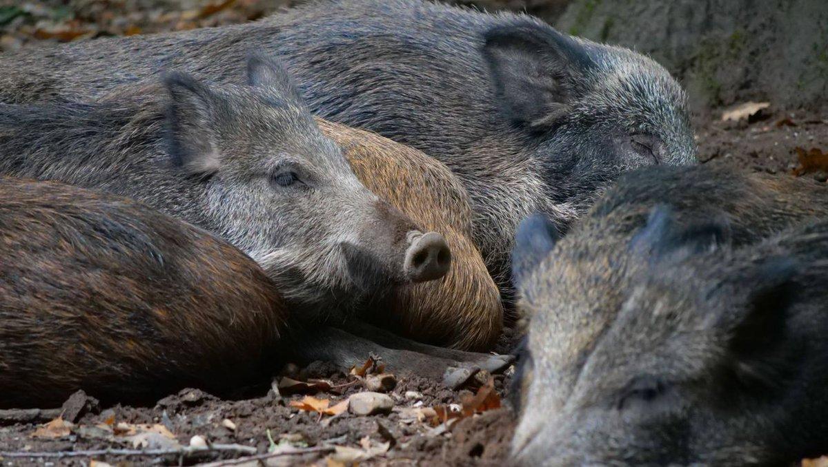 Afrikanische Schweinepest in Brandenburg breitet sich aus https://t.co/29x72VQpqw https://t.co/F2ndbmc3eW