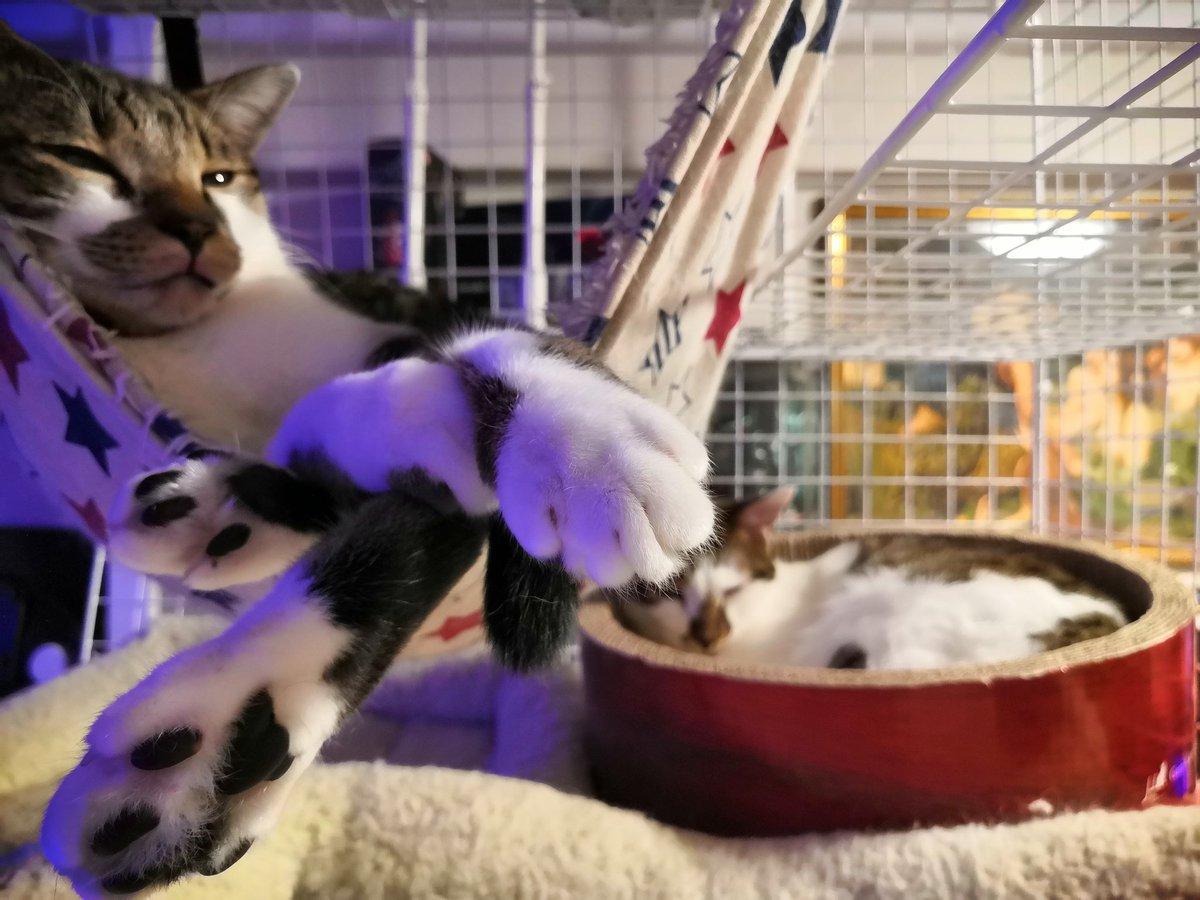 ハンモックで揺られてる子といい湯だな状態の子🐈️ おやすみちゃん🌌 #猫のいる暮らし #キジシロ #兄弟猫 #保護猫 https://t.co/HJUrVXxxi0