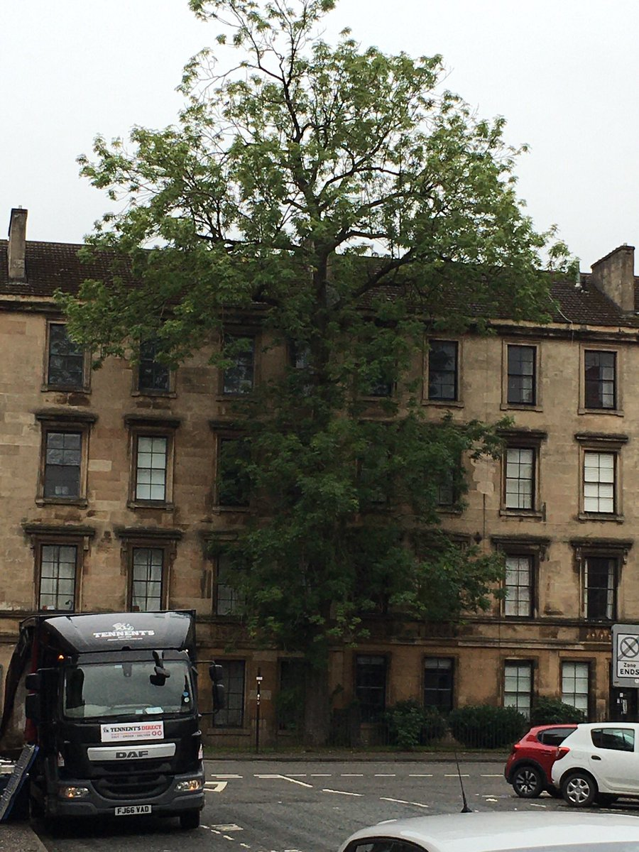 This is such an unusual tree. Looks like it's almost painted onto the building. Glasgow. Thank you @Shelleyhayes17 - another Tree of the Day 🥇 for 🏴󠁧󠁢󠁳󠁣󠁴󠁿