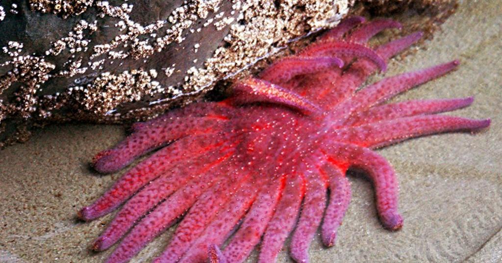 What's killing sea stars? https://t.co/KsSqdGxEHj https://t.co/beUgivCmLX