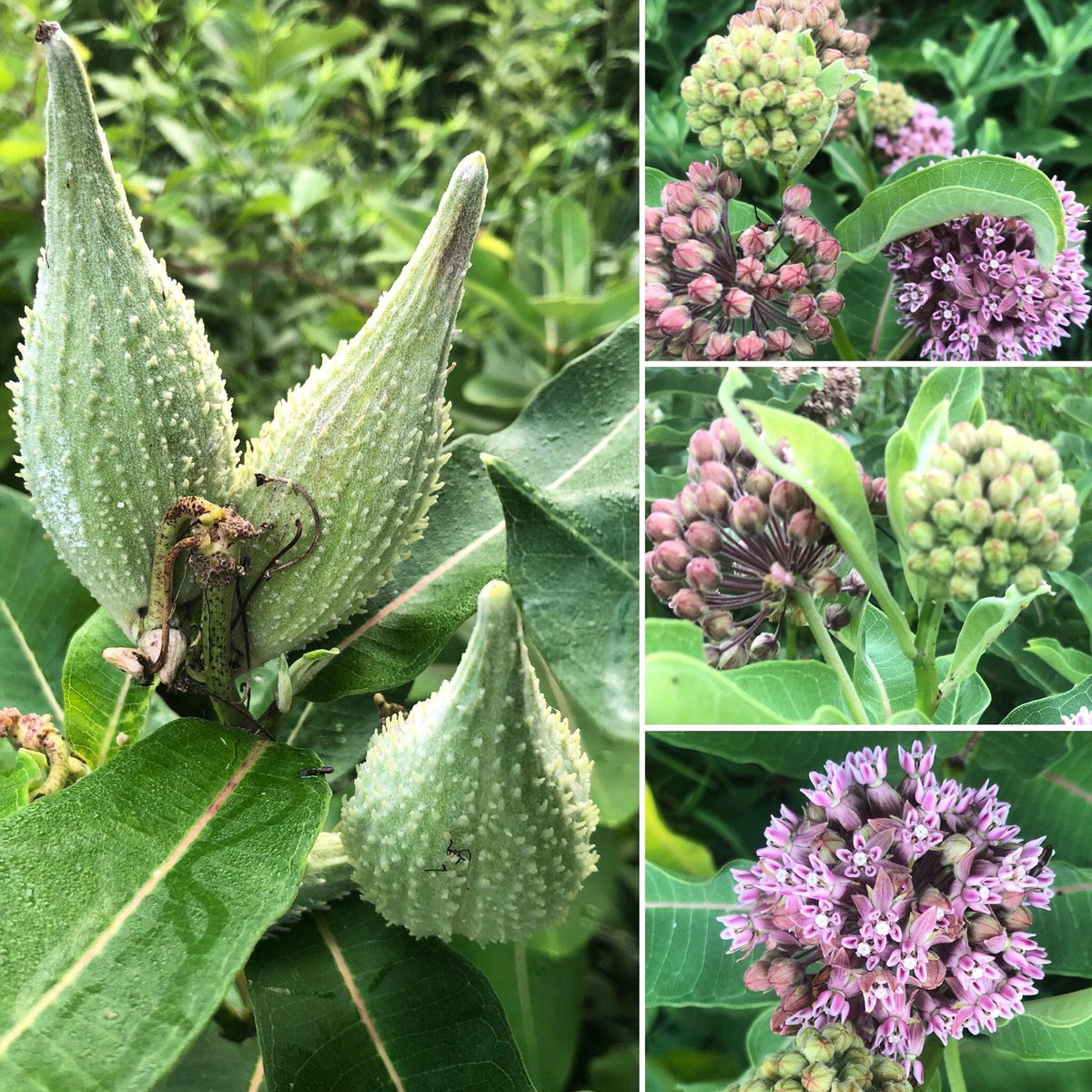 #etsy seed shop: Monarch Butterfly #Milkweed Asclepias syriaca fragrant blooms attract pollinators https://t.co/bxjn9DqFgi https://t.co/76ANDUXenO