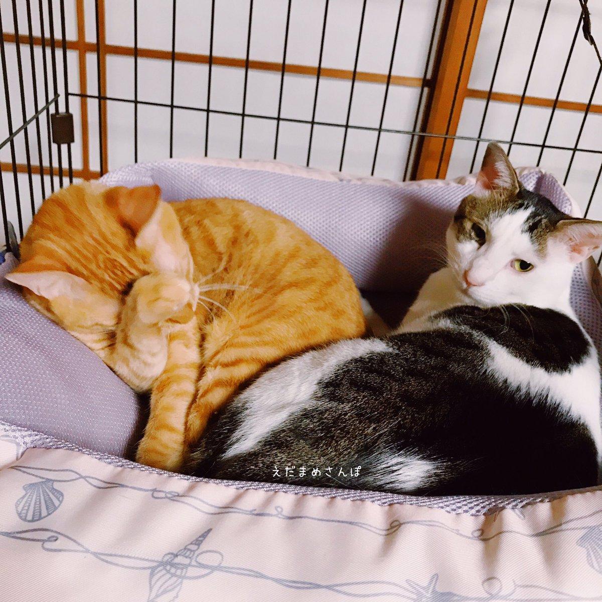 おはようございます。  #猫好きさんと繋がりたい #猫のいる暮らし #猫好き #茶トラ #きじしろ #兄弟猫 https://t.co/jK4w9CniPU