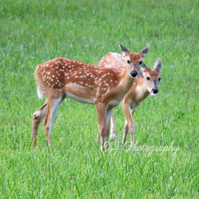 Young deer in an open field (Burlington, WI). © 2016-2020 ELJ Photography. All Rights Reserved. #deer #Wisconsin https://t.co/TG6X9yLAG1
