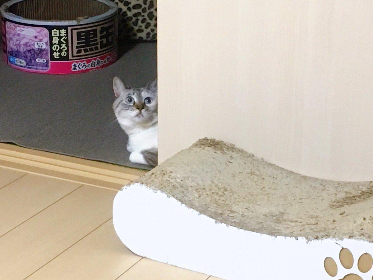 えぇ〜なんでジジィがいるの?!  #テレワークだからです #猫 #cats https://t.co/HjZi7VzY6G
