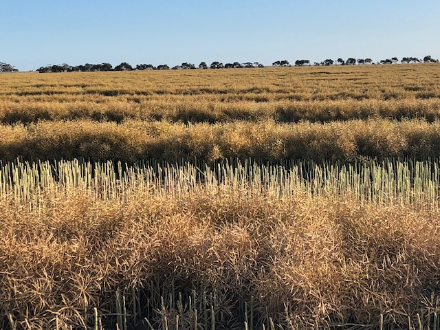 The WA annual harvest has officially begun, canola coming down in the northern wheatbelt 🌾  #GBA #grainbrokersaustralia #letsgrowtogether #agriculture #agribusiness #ruralbusiness #farming #farmers #growingthecrop #crop #wa #harvest #canolaharvest #canola #wheatbelt #north https://t.co/yIkAJTBcHj
