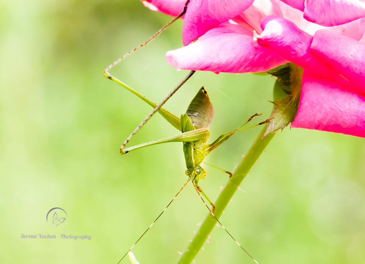 Katydid on a rose #macro #nature #photography #bugs https://t.co/xCARNPh6up