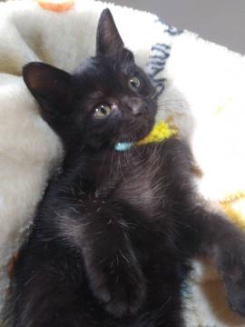 キュートな男の子 福岡県 ♂ 生後2ヶ月 のネコちゃんです。  #猫 #ネコ #里親 #里親募集 #福岡県 #拡散希望  詳細:https://t.co/l4HxgROTqk 写真: https://t.co/JKGQ2MgwGF