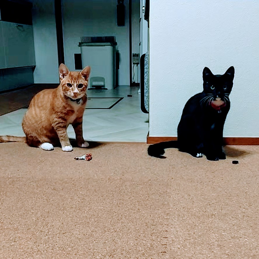 猫たち、今日で生後半年となりました  ラインはそろそろ5キロ、 てんちゃんは3キロになります  かーなり子猫感は無くなったな ちょっと寂しい  #猫のいる暮らし  #猫 #茶トラ #黒白猫 #兄弟猫 https://t.co/qqAiQrxHmx