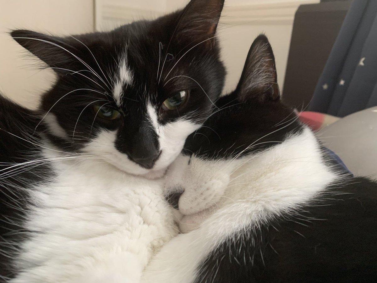 おやすみなさい。  #白黒猫 #兄弟猫 #ハチワレ #フクロク #シマホレスキュー #シマホネコダスケ #ねこ #cats #猫 https://t.co/GqkE9uL10u