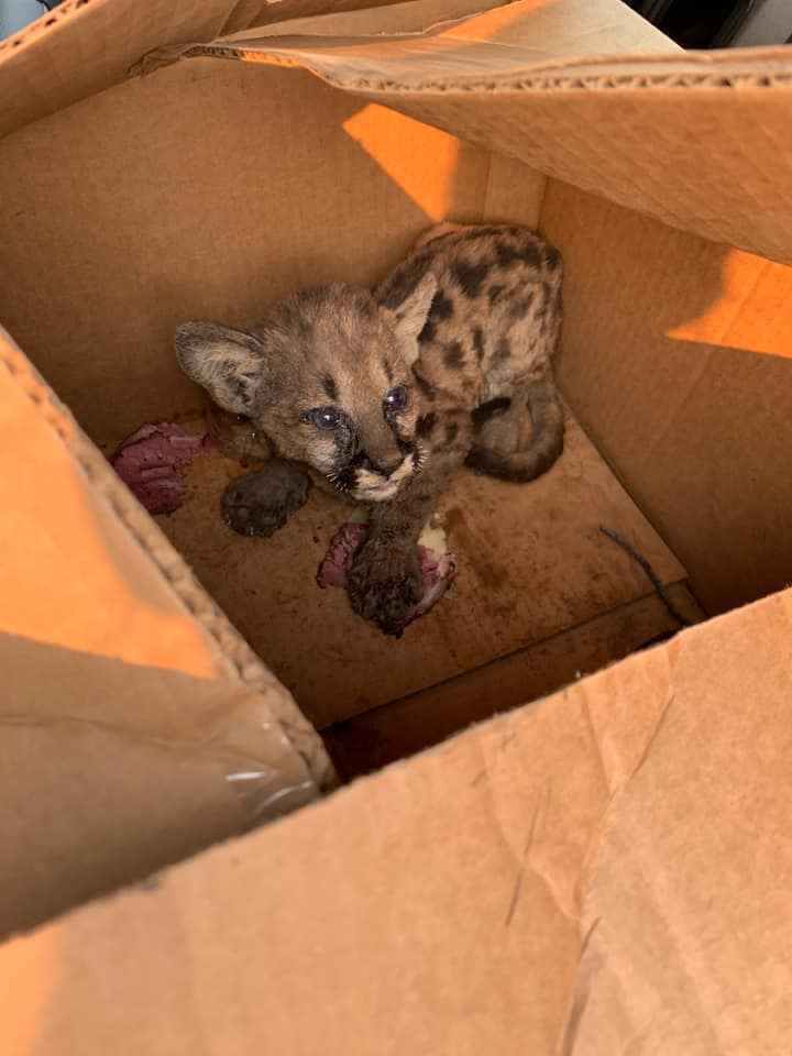 On Wednesday, Cal Fire and the Shasta County Sheriff's Office found this mountain lion cub wandering all alone on Zogg Mine Rd, Shascom 911 shared. Officials were able to safely capture this little one. He's now safe in the care of Fish and Wildlife. #ZoggFire https://t.co/k9hED6KCC5