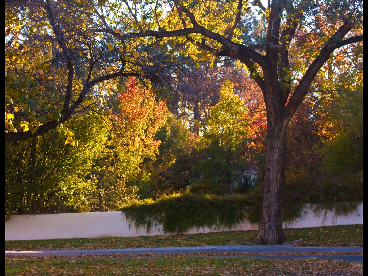 @abqciqlovia I can't go anywhere right now, but I photographed these Amazing Trees of Ridgecrest (just up from where I live a few blocks) in early November of 2009, and still love them!  #CiQloChallenge2020 #Albuquerque #NMTrue https://t.co/Xd4yINkRKk