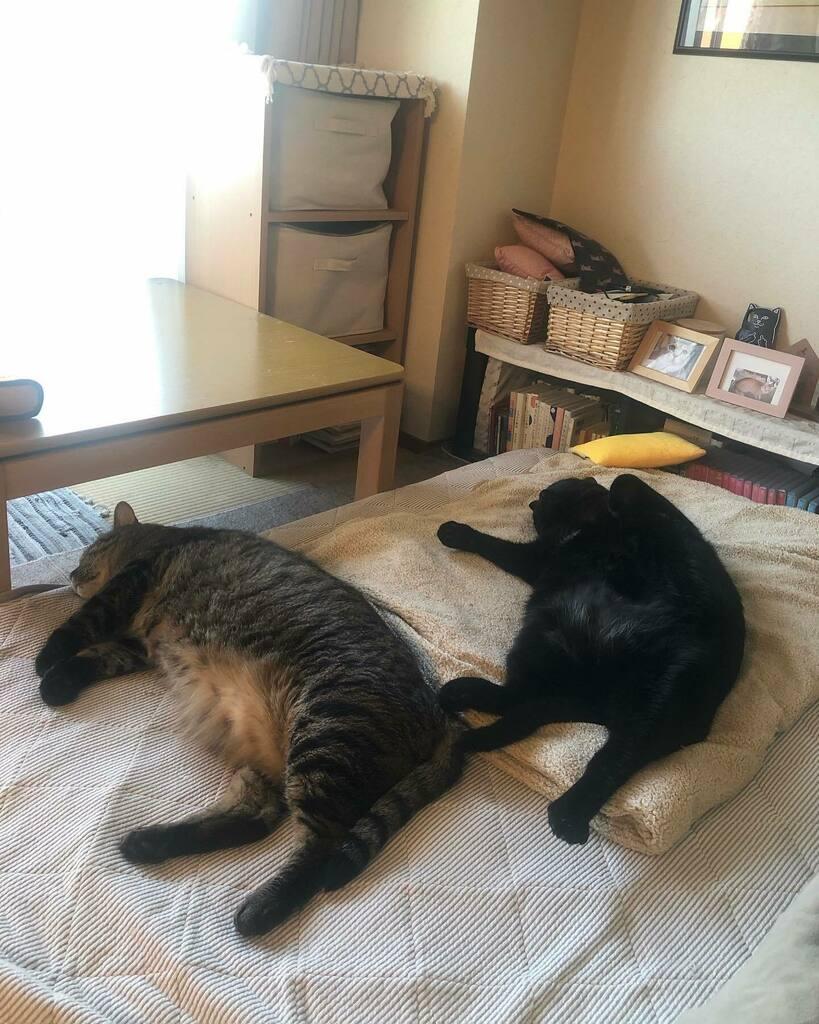 おはようございます。  朝ごはんたべたら このとおり。  私が起きてもしらんぷりです。  可愛いのう。。  #catstagram #cat #キジトラ #黒猫 #兄弟猫 #うらやましー #金曜日です #良い1日を https://t.co/Pm2tRkJpGe https://t.co/EtfYvqpyYa