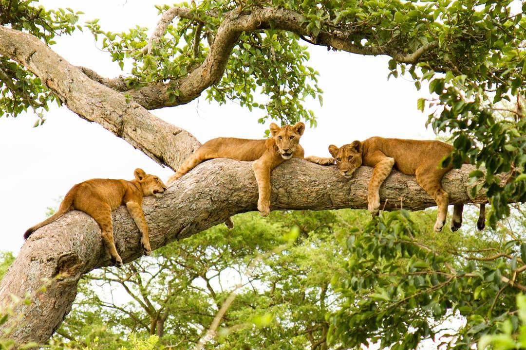 Looking for where to see wildlife display their lifestyle in Uganda's savannah's parks? Here are the top Uganda wildlife safari tours  https://t.co/m3nJPXXiZh #Ugandawildlifesafaris #Ugandatour #UgandaSafari https://t.co/bwqxUclccL