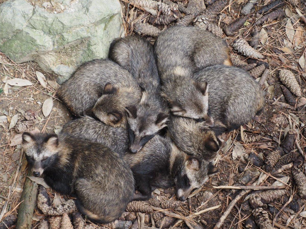 タヌキ達の寝顔 あー!!! かわいすぎるぞー!!!! #石川県森林公園 #ホンドタヌキ #タヌキ https://t.co/9JJi25EDsr