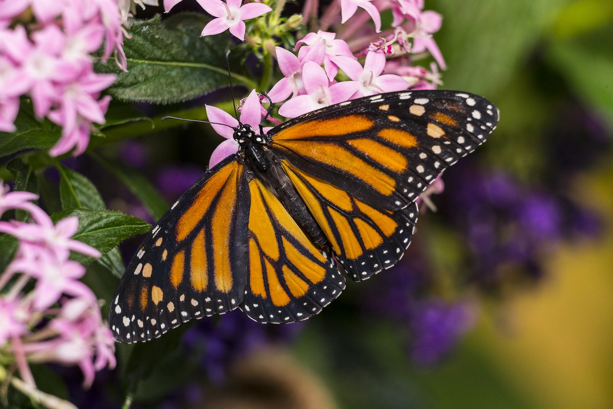 Monarchs are the only butterflies known to make a 2-way migration like birds do and it's happening right now! See how you can help support their magnificent journey over the next few weeks: https://t.co/yTPRjo7KeS #PlayitSAFE #SAFEMonarchs https://t.co/otsKqT2oqj