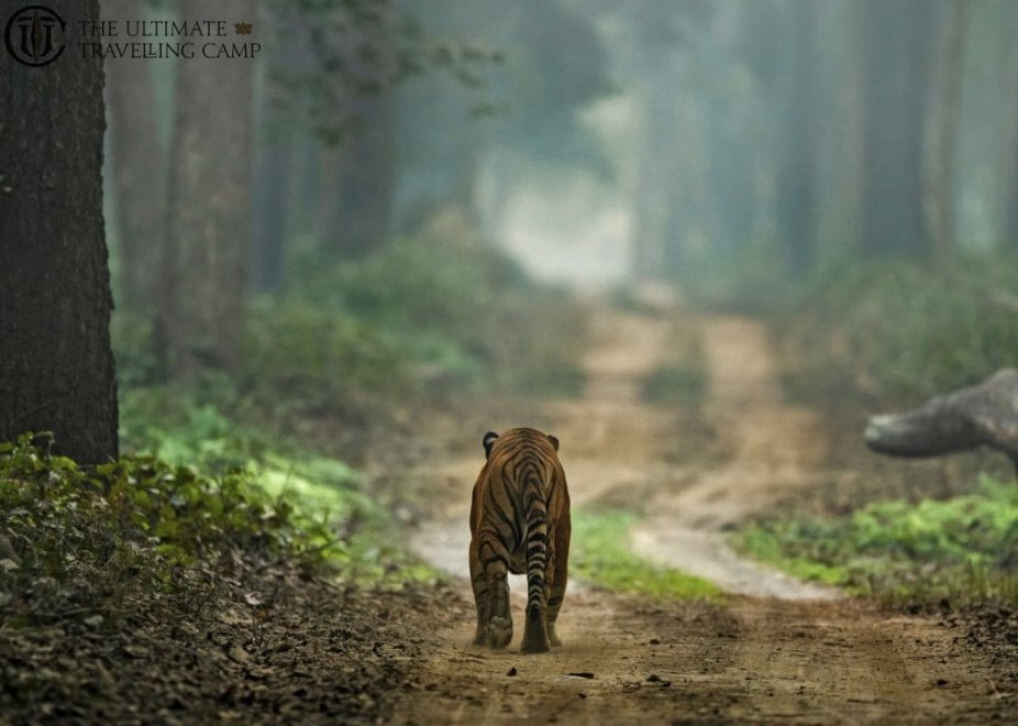 The forests where animals once hidden can be seen even today and where species endangered across India continue to thrive. #DudhwaTigerReserve