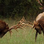 Image for the Tweet beginning: Elk in Arkansas: Roaming Black