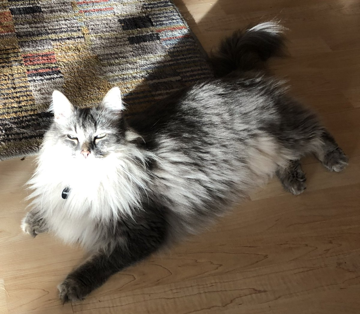 Dad says I look especially gorgeous in this sunbeam...  I think he's biased though...   😹😽 ☀️ 🐾  #Caturday #CatsOfTwitter https://t.co/WbNTagolNE