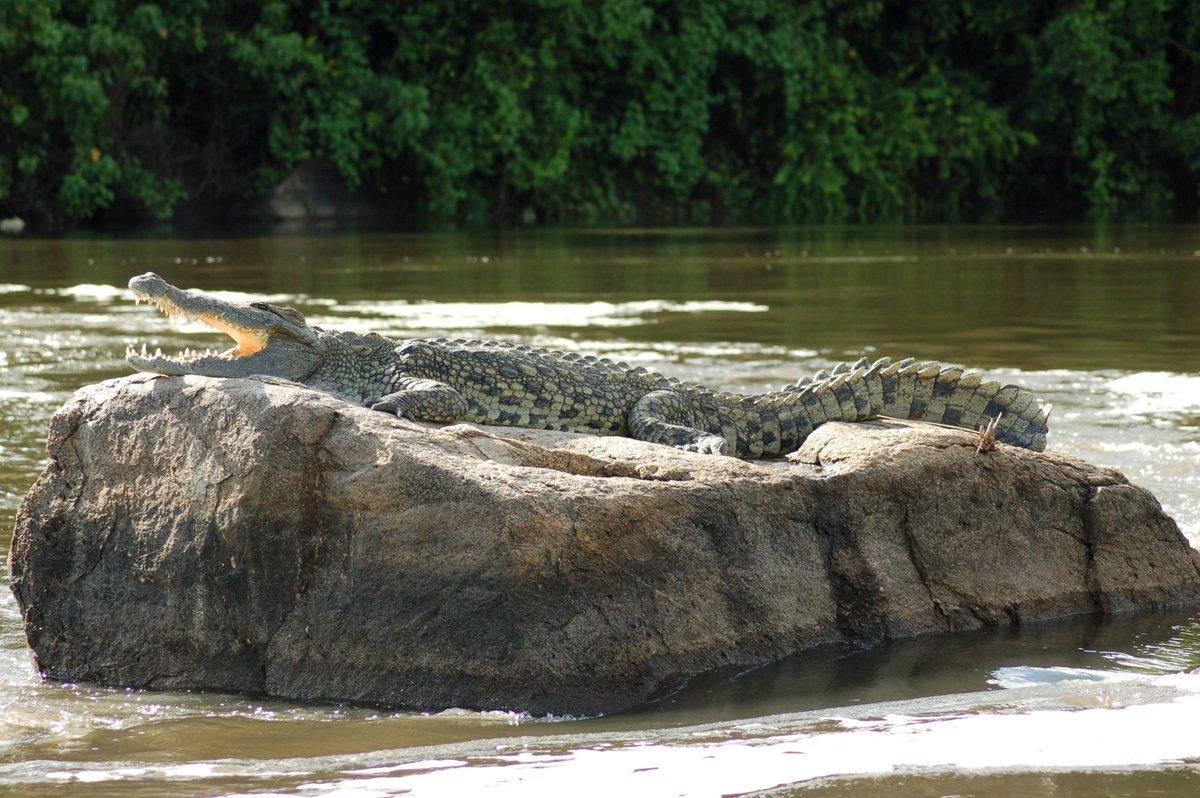 From the ferocious Nile crocodile, Uganda has a remarkable abundance of reptiles #wildlife #tourism #safetravel #conservation #afrika #safariuganda #africansafari #murchisonfallsnationalpark info@cultoursandsafaris.com https://t.co/NEHx9qEuoP +265 414660243, +256 775776980 https://t.co/kj28MxlMSw