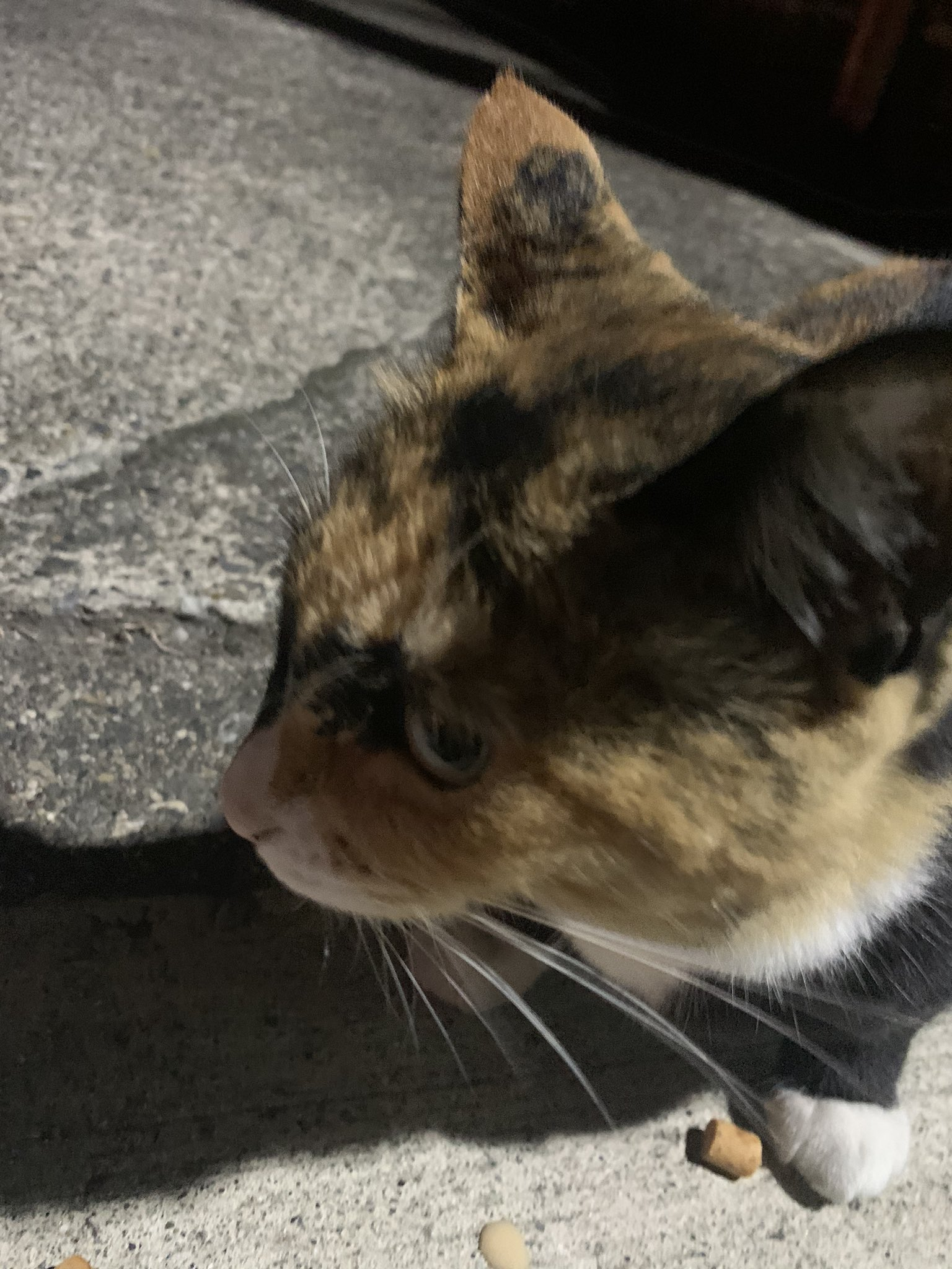 画像,昨日の夜は名古屋まで行って、のあち=ツキノと再会。最後までちゃんと可愛いのは本当にすごいと思いました。帰り道、国府宮駅近辺で可愛い猫と交流。 https://t…