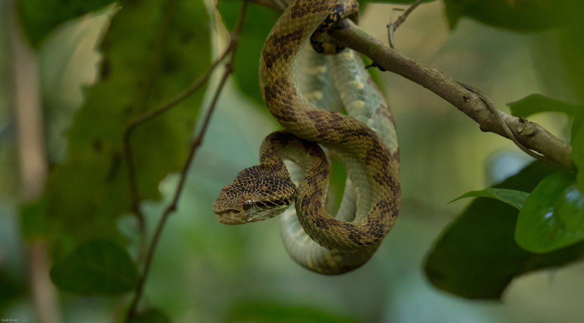 Vivek Menon On Twitter The Westernghat Endemic Malabar Pit Viper Comes In Several Shades Green Brown Yellow Purple But They All Seem To Be Born Brown They Don T Lay Eggs But Give Birth