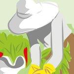 Image for the Tweet beginning: Tradicionalmente, el cultivo del pimiento