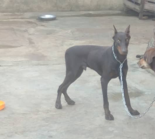 This young Doberman Pinscher is still for sale or swap ... Holla at your boy...  @Gidi_Traffic @bustopsng #dogsoftwitter #EndSARS @SyntacleNig