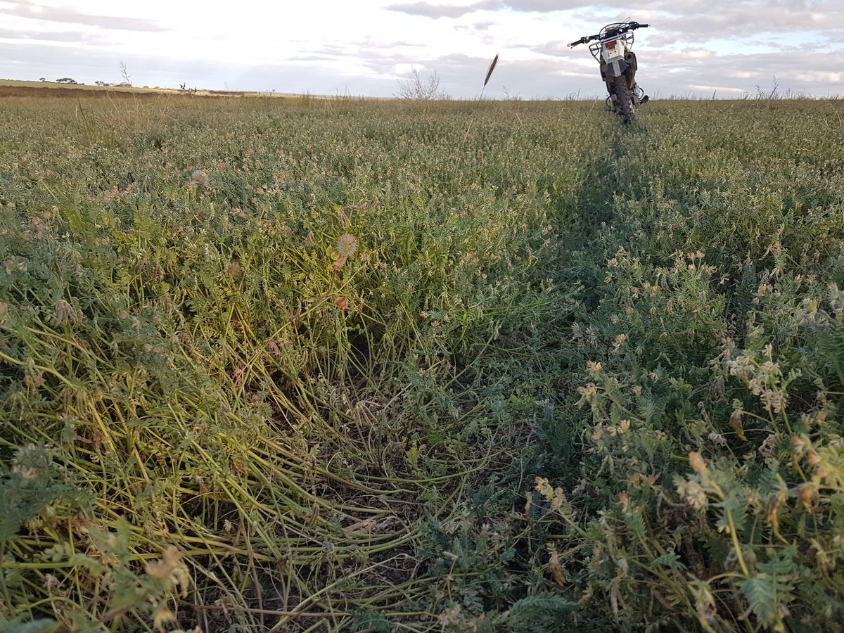 Huge difference between summer sown marguarita serradella and regen sub this year. Sub doesn't want to play anymore  87mm summer rain  160 growing season rain #goldenrules #showusyournods @floyds63  @KarradaleFarms https://t.co/3xyXE74pFm