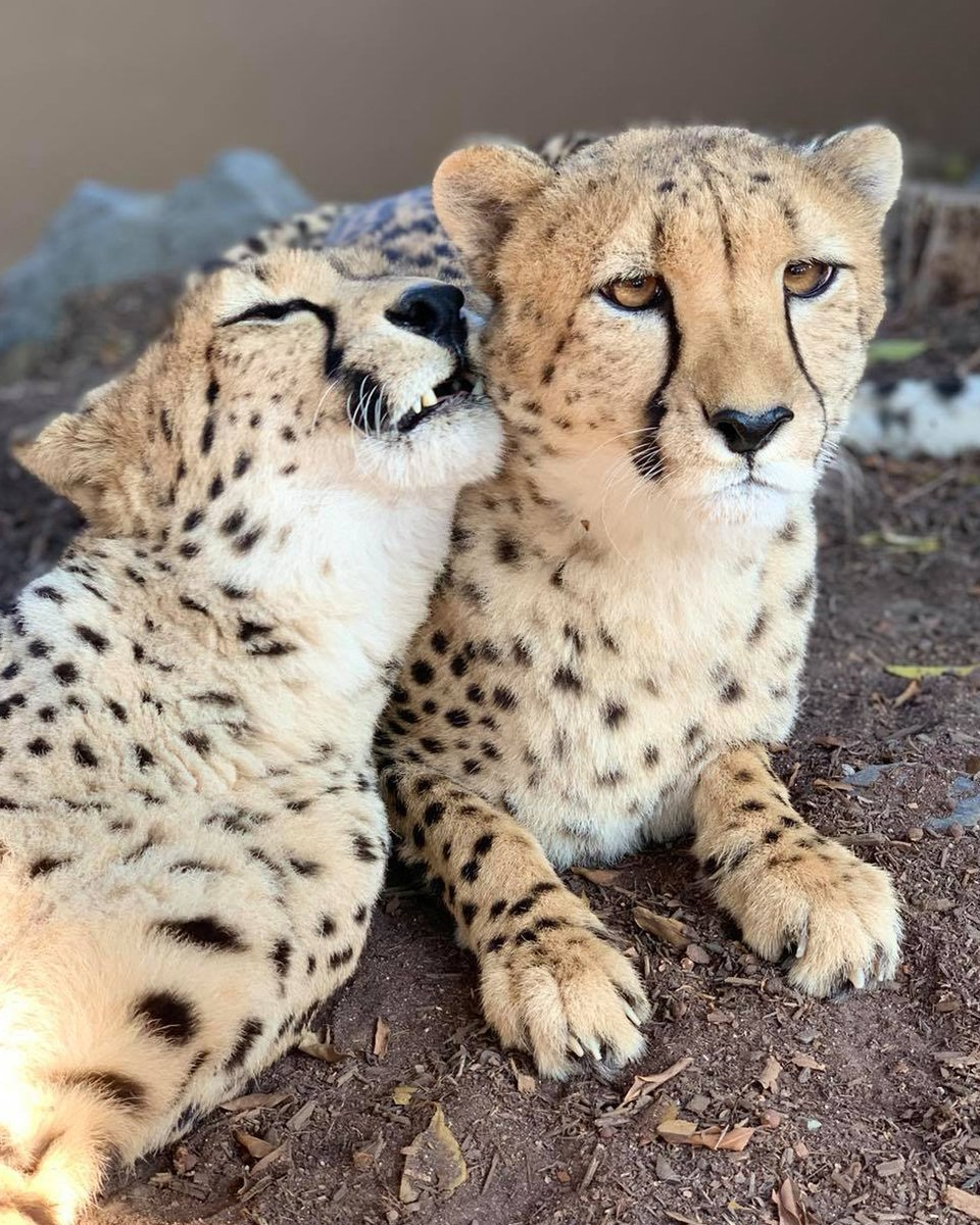 Spotted at the Zoo: Cheetahs Jabula & Roketi sharing a snuggle  📷: Lorena Walton https://t.co/DzPsTK5zvE