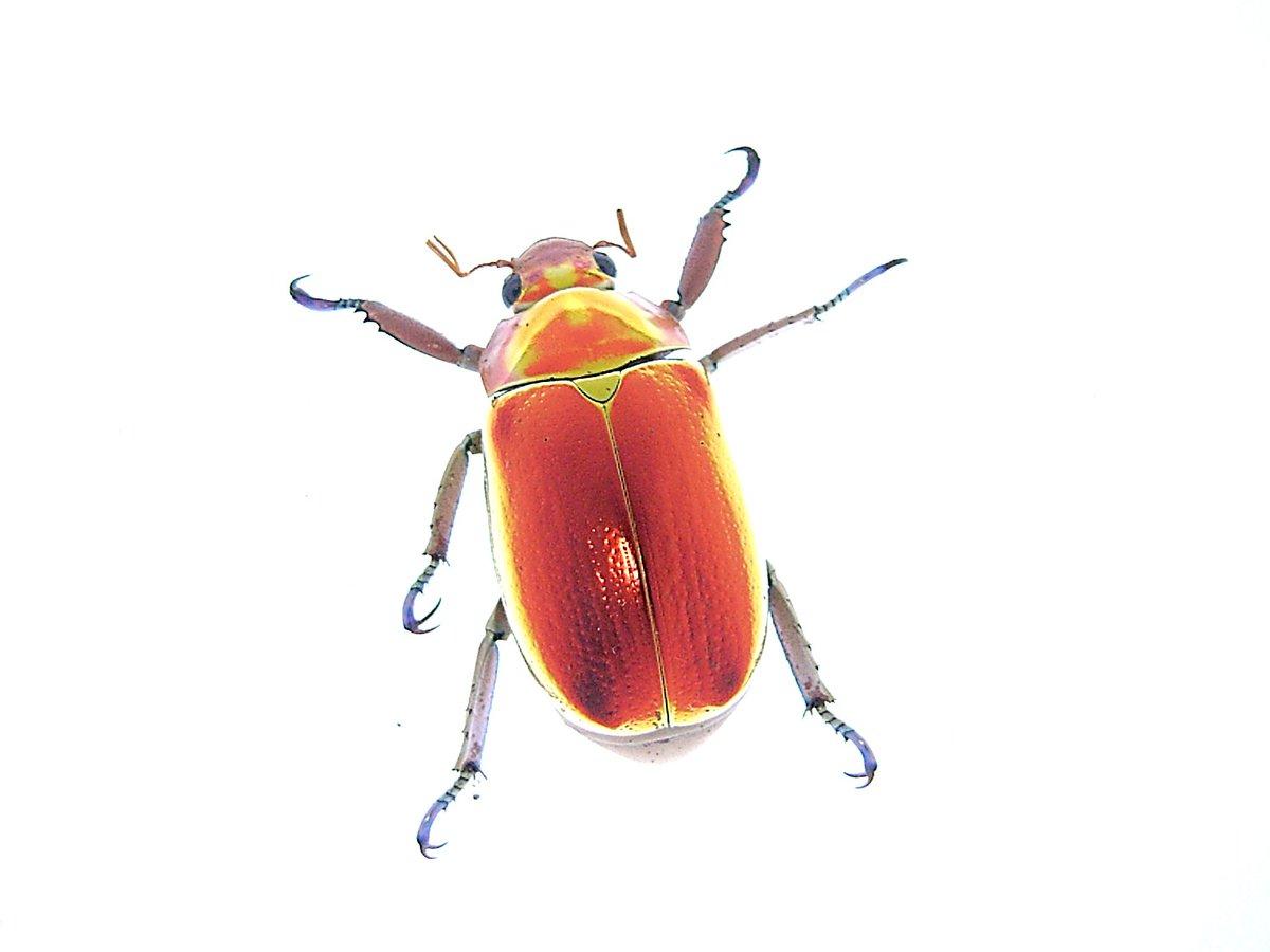 コガネ プラチナ 昆虫やばいぜ プラチナコガネの生態、光る理由を紹介 12/28
