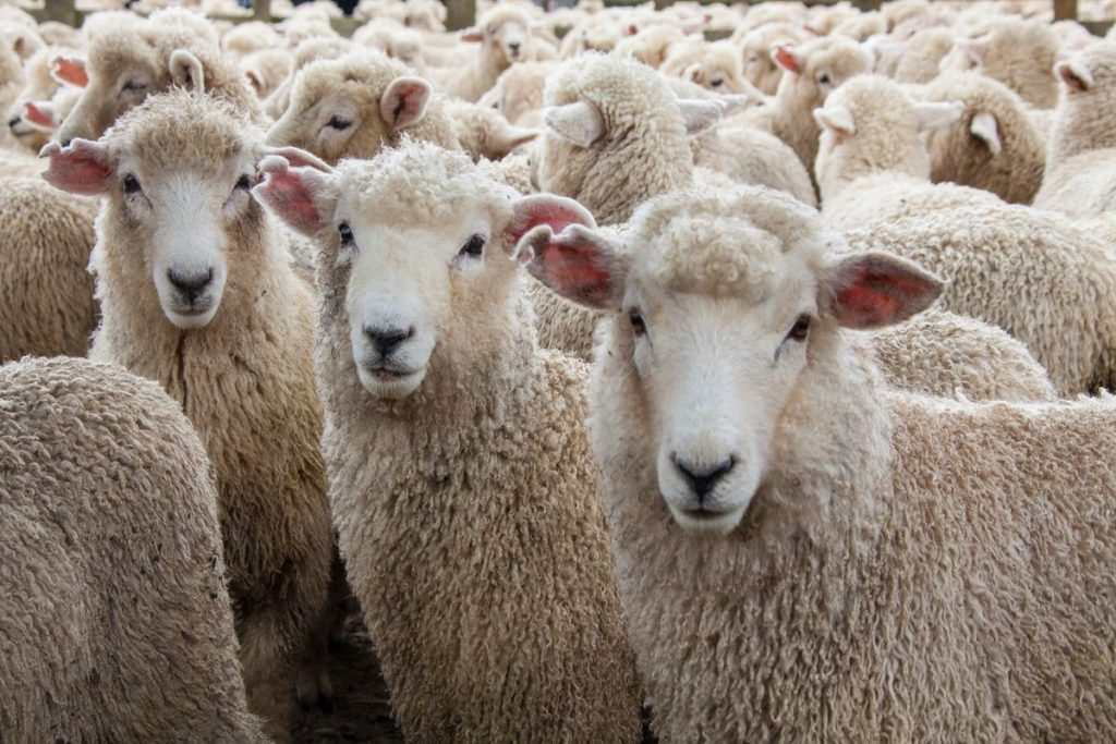 Why be a sheep when you can be a G.O.A.T.? Be your own 🐐 train.championsmind.app/now #think #train #thrive