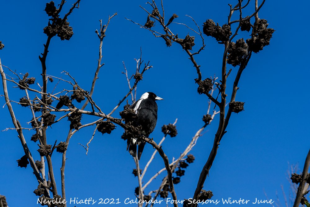 Here's your first look at my Limited Edition 2021 A4 Calendar Four Seasons #Winter Only while stock last #BirdLife #AustralianFauna #AussieAnimals #AustralianWildlife #AustralianPhotographer #Islandlife #VisitGippsland #GippslandLakes #SupportLocalArt #BuyLocalArt #Photo #BlueSky https://t.co/GqEZ7Z8R6W