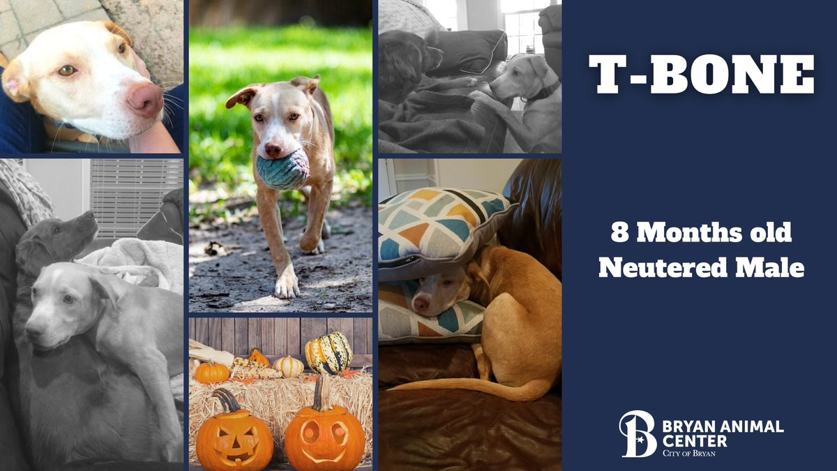 T-Bone is ready for his forever home!  We would like to thank T-Bone's foster parents for opening their home to this sweet boy and helping him through his recovery. #Foster #Adopt #Recovery #Happyboy #Readyforahome #October #Halloween #Thankful #BryanAnimalCenter #CityofBryan