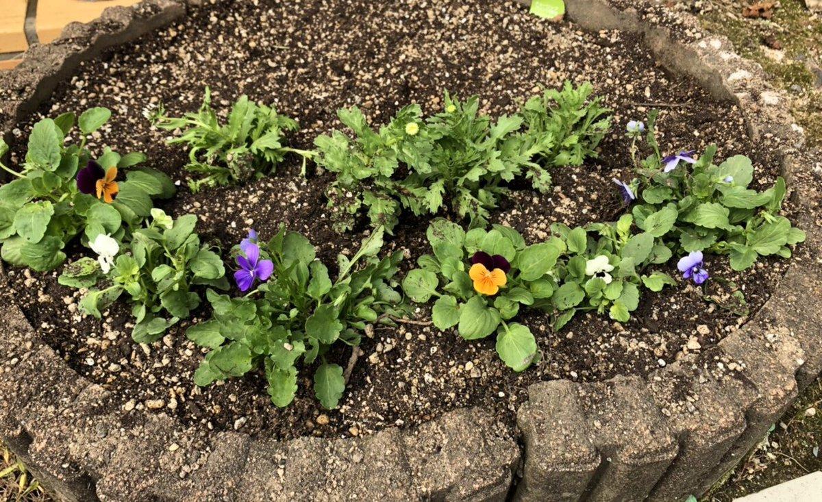 たくさん咲いてくれました(*´꒳`*)  可愛いです🌷🌼  癒されます  #ビオラ #ノースポール #ガーデニング https://t.co/mQ0h0Vrjpo