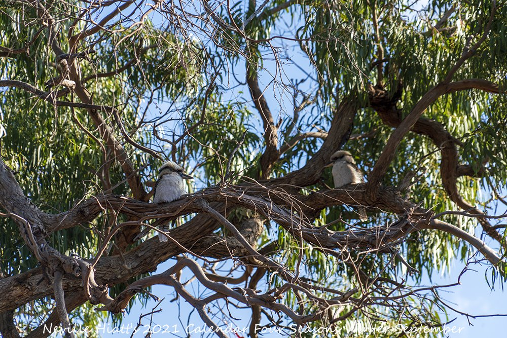 Here's your first look at my Limited Edition 2021 A4 Calendar Four Seasons #Winter Only while stock last #BirdLife #AustralianFauna #AussieAnimals #AustralianWildlife #AustralianPhotographer #Islandlife #VisitGippsland #GippslandLakes #SupportLocalArt #BuyLocalArt #Kookaburra https://t.co/loHZxYf4ds