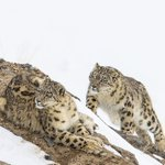 Image for the Tweet beginning: The Snow Leopards have stolen