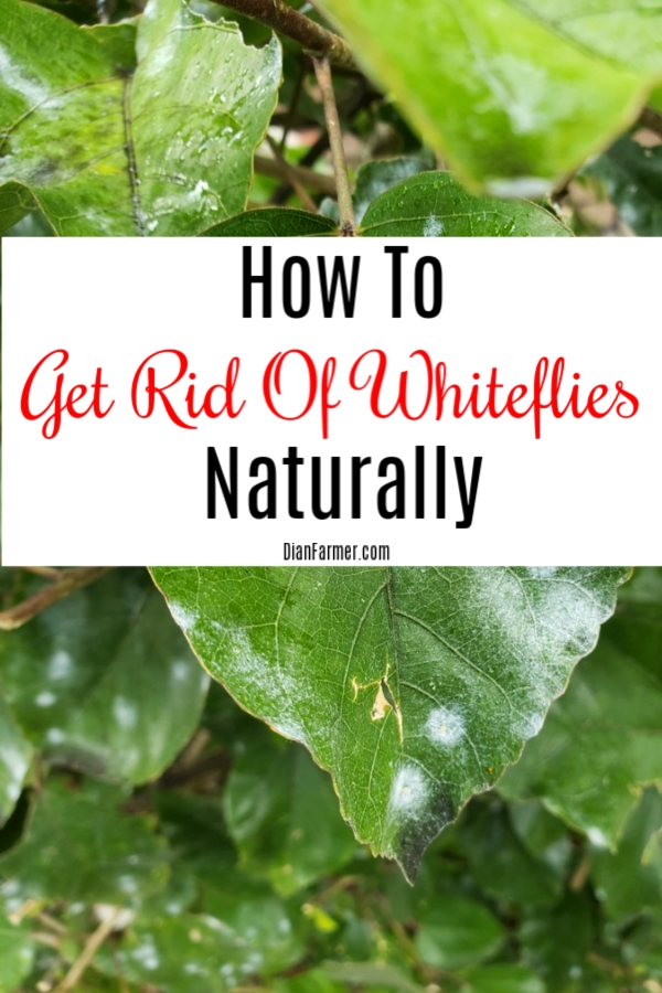 How To Get Rid Of Whiteflies Naturally  https://t.co/7reBejoSLB #financialindependence #family #savingmoneytips #moneysavingtips #savingtips https://t.co/C5NVDqeTGy