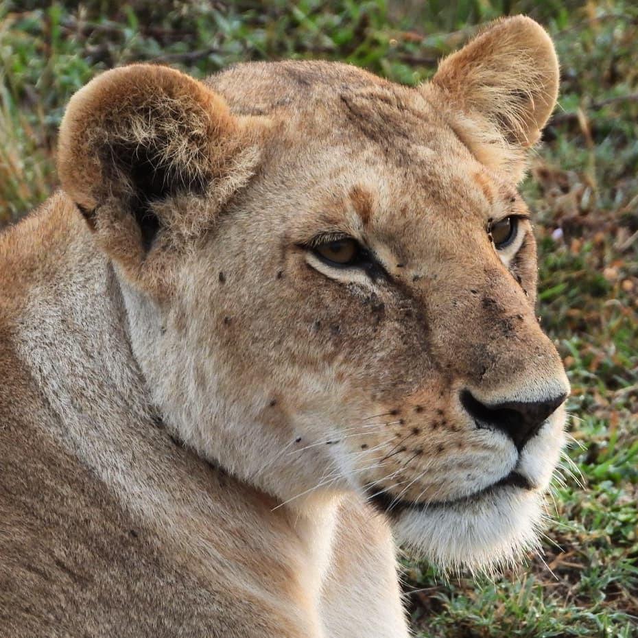 Lioness from the Enkoyonai #lion pride #nowfilming #zebraplainsmoments #zebraplainscollection . . . . . #lionsofinstagram #instalion #lionking #lionsofafrica #animalpolis #africanimals #africansafari #kenyansafari #ig_africa #igscwildlife #wildlife_perfe… https://t.co/FR1rd54ovy https://t.co/fZ5zDZxVN7