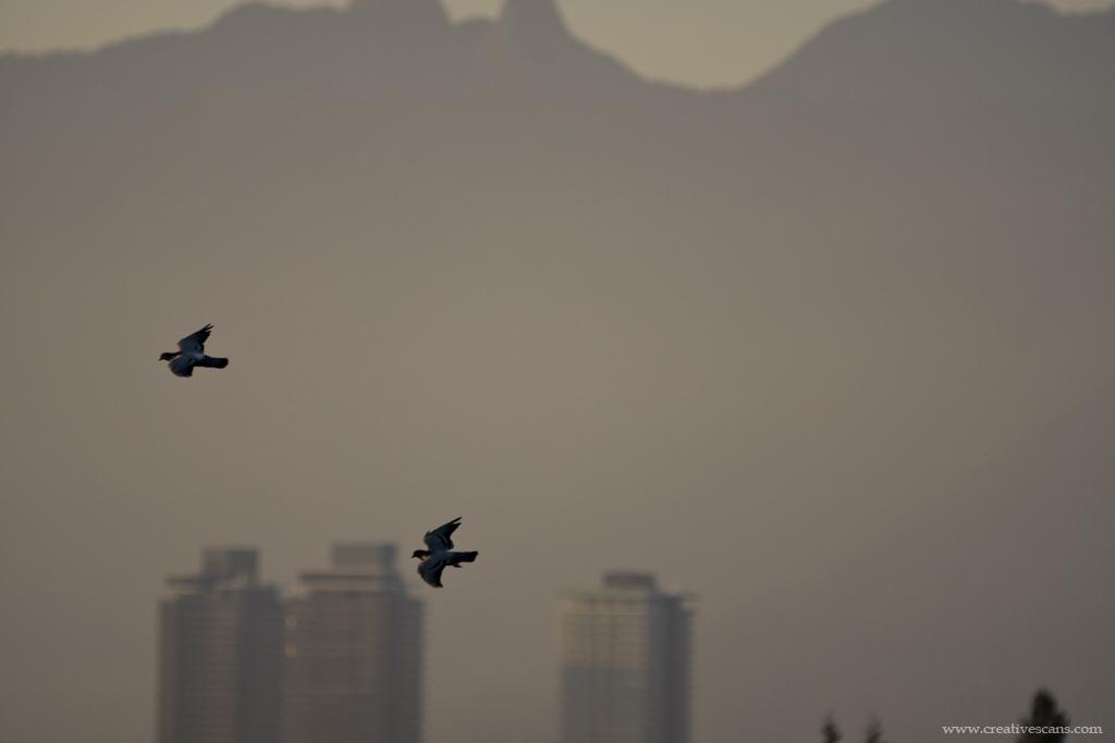 Urban flying... . . . . #explorebc #photos604 #birds #beautifulbc #pacificnorthwest #yourshotphotographer #wildlife #pigeon #burnaby365 https://t.co/aaHSscoam1