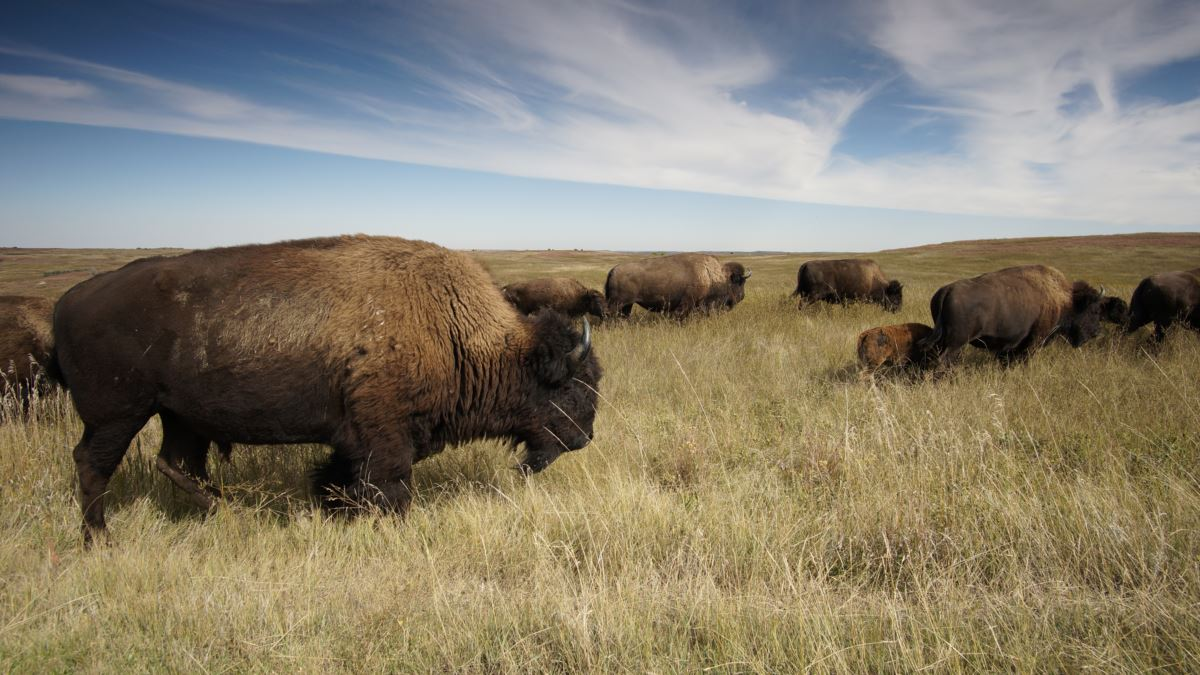 American Bison  The national mammal of the United States of America.  #animals #wildlife #nature #naturelovers https://t.co/qWPQ7mjOPe