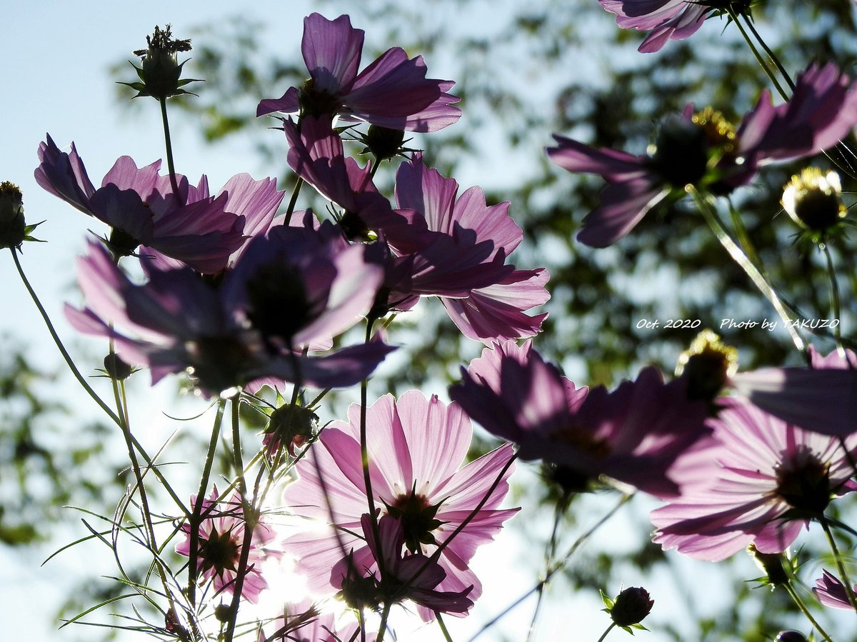 光と影のロンド   #自然 #秋 #コスモス #秋桜 #アーカイブ https://t.co/iOt7EjS1Wj