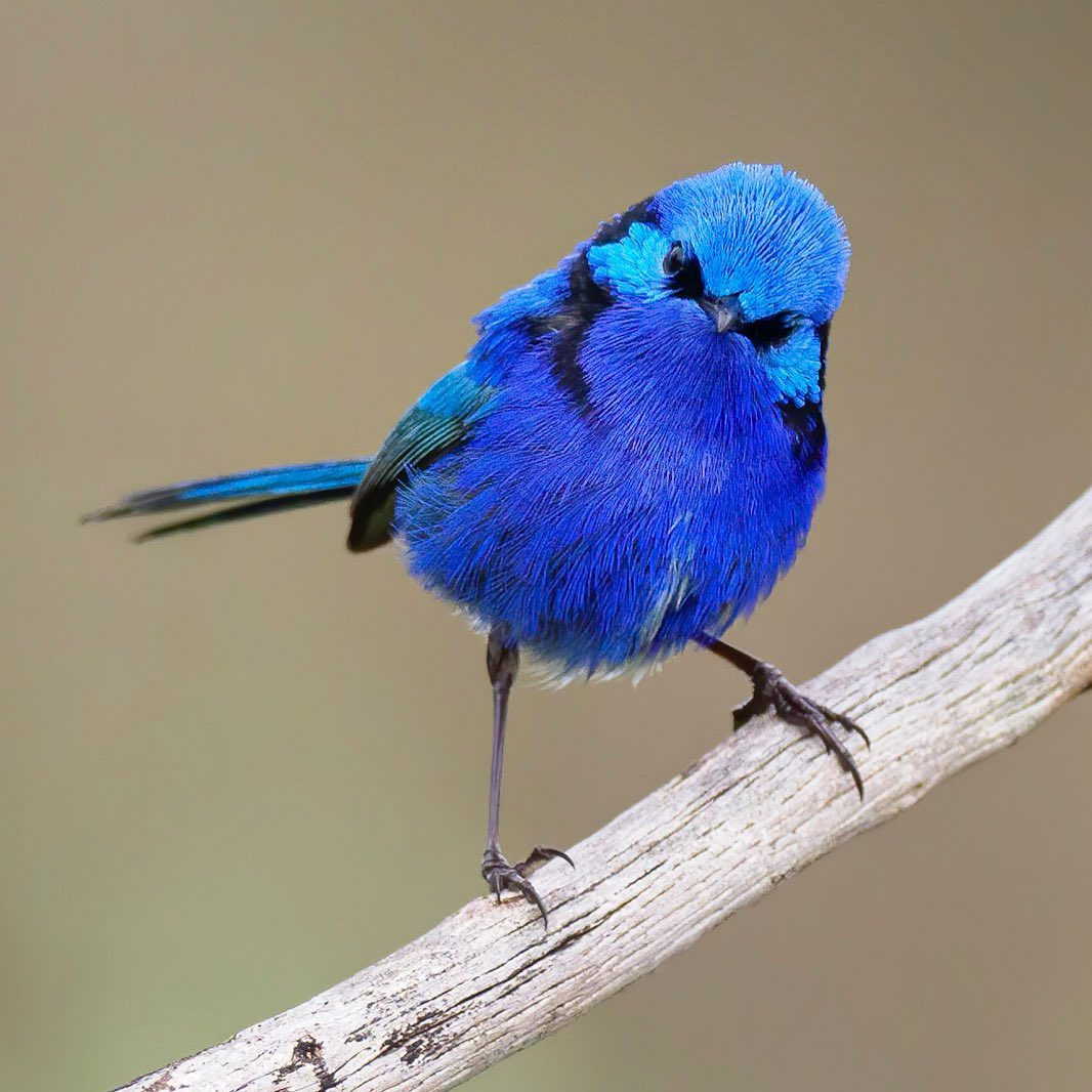 Happy #wrensday!  Did you know that we have nine species of fairy-wren? You'll find them all across the country. The plumage between both sexes differs greatly – breeding males have brilliantly coloured plumage, like this very aptly named Splendid Fairy-wren!  📷Vik D https://t.co/3FW8OFR4xD